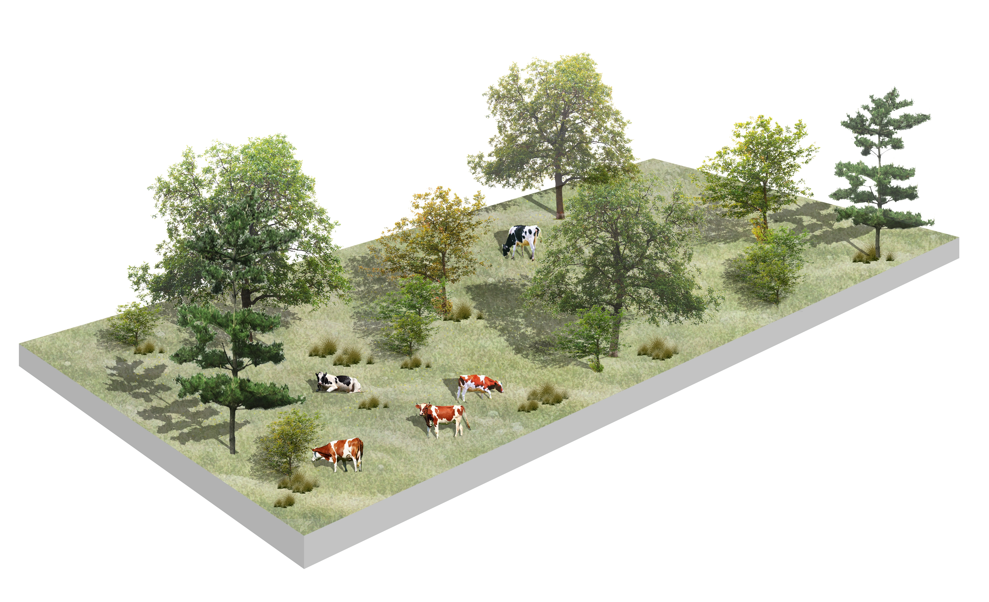 A visualisation of a silvopasture with cows. ©Face Design Studio 2019