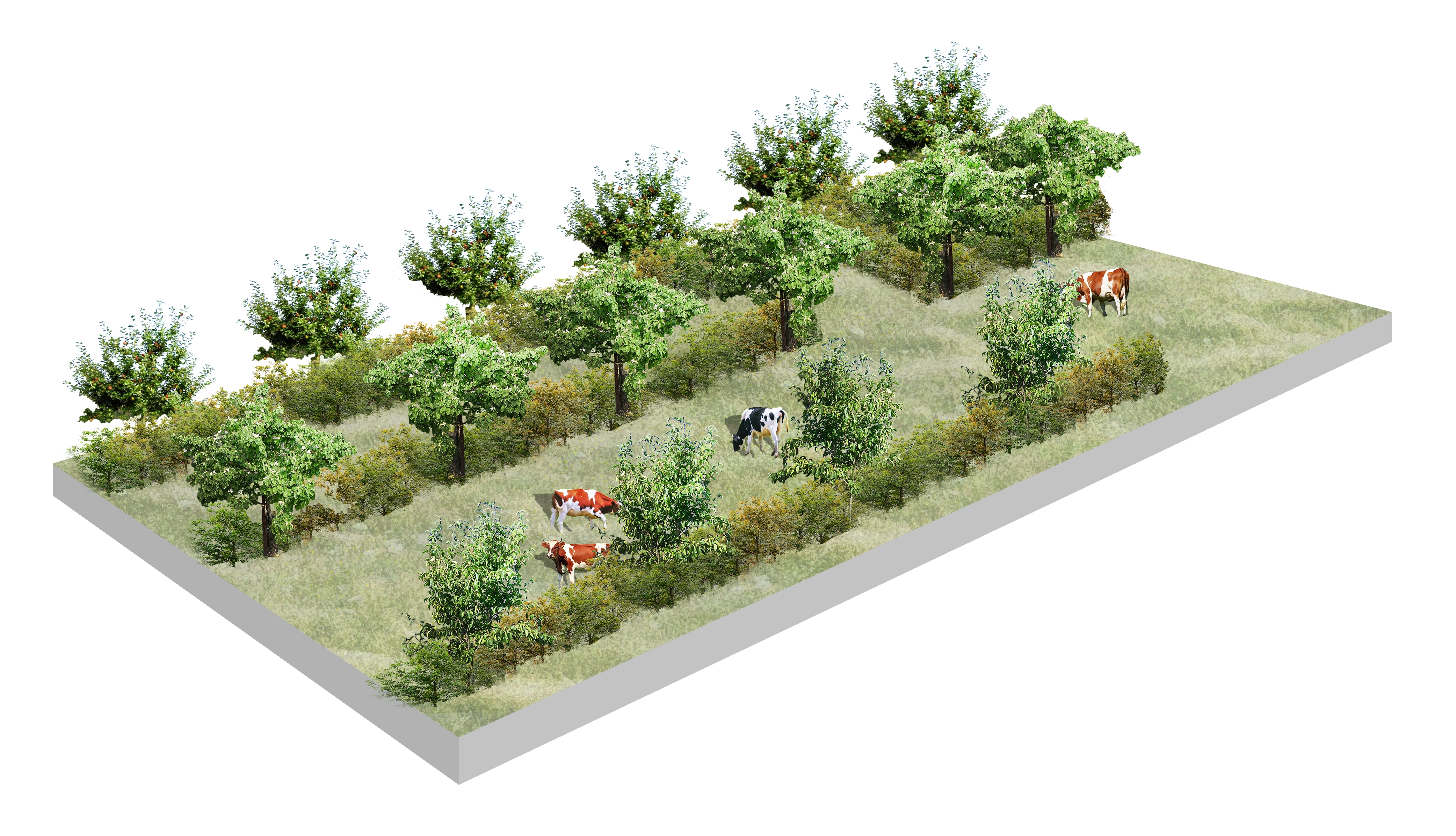 A visualisation of an orchard with multiple layers and cattle. ©Face Design Studio 2019