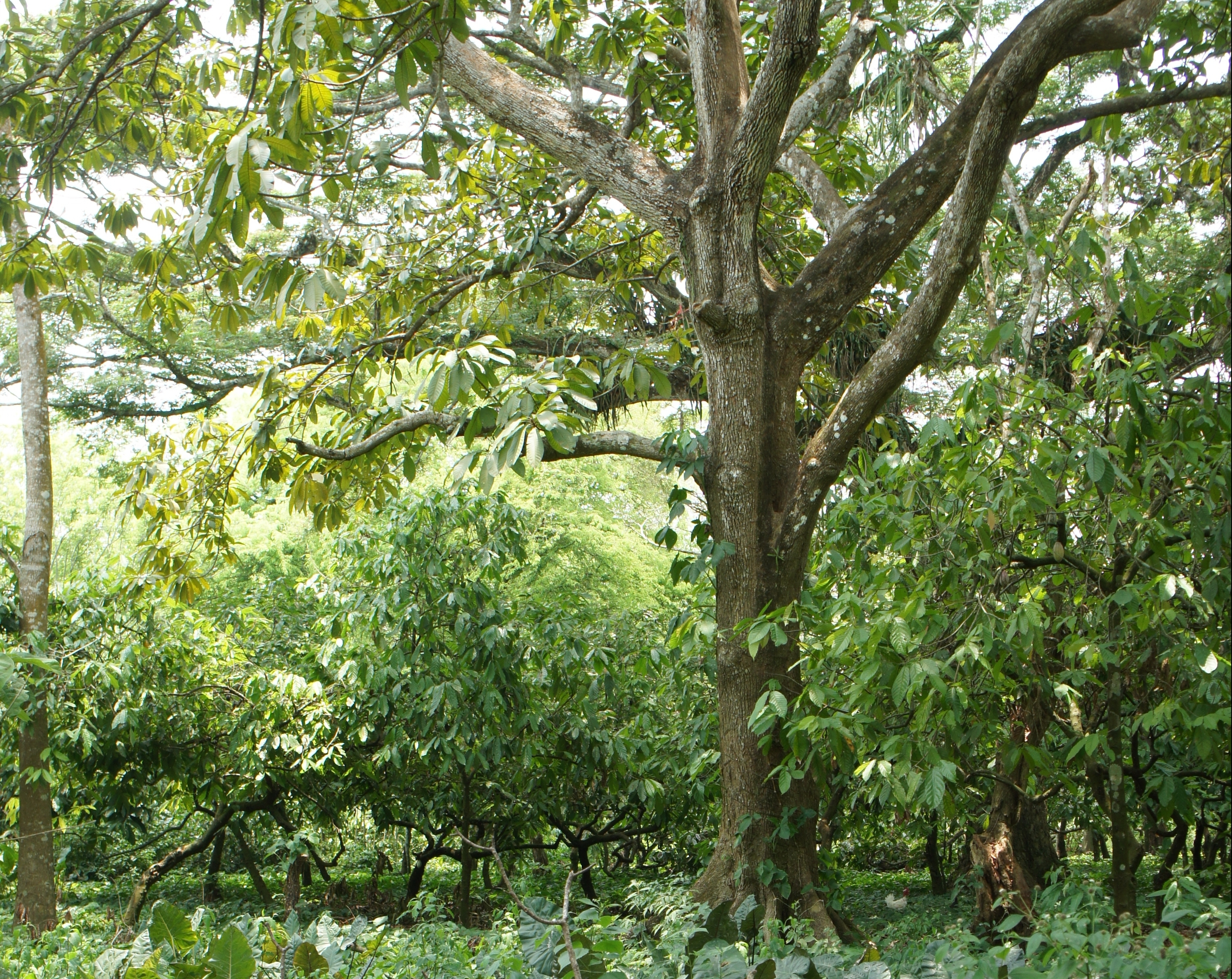 A food forest in Mexico, with among others taro, cacao, ice cream beam and red zapote. This form of edible landscape has been practised here for thousands of years. ©Natvise 2016