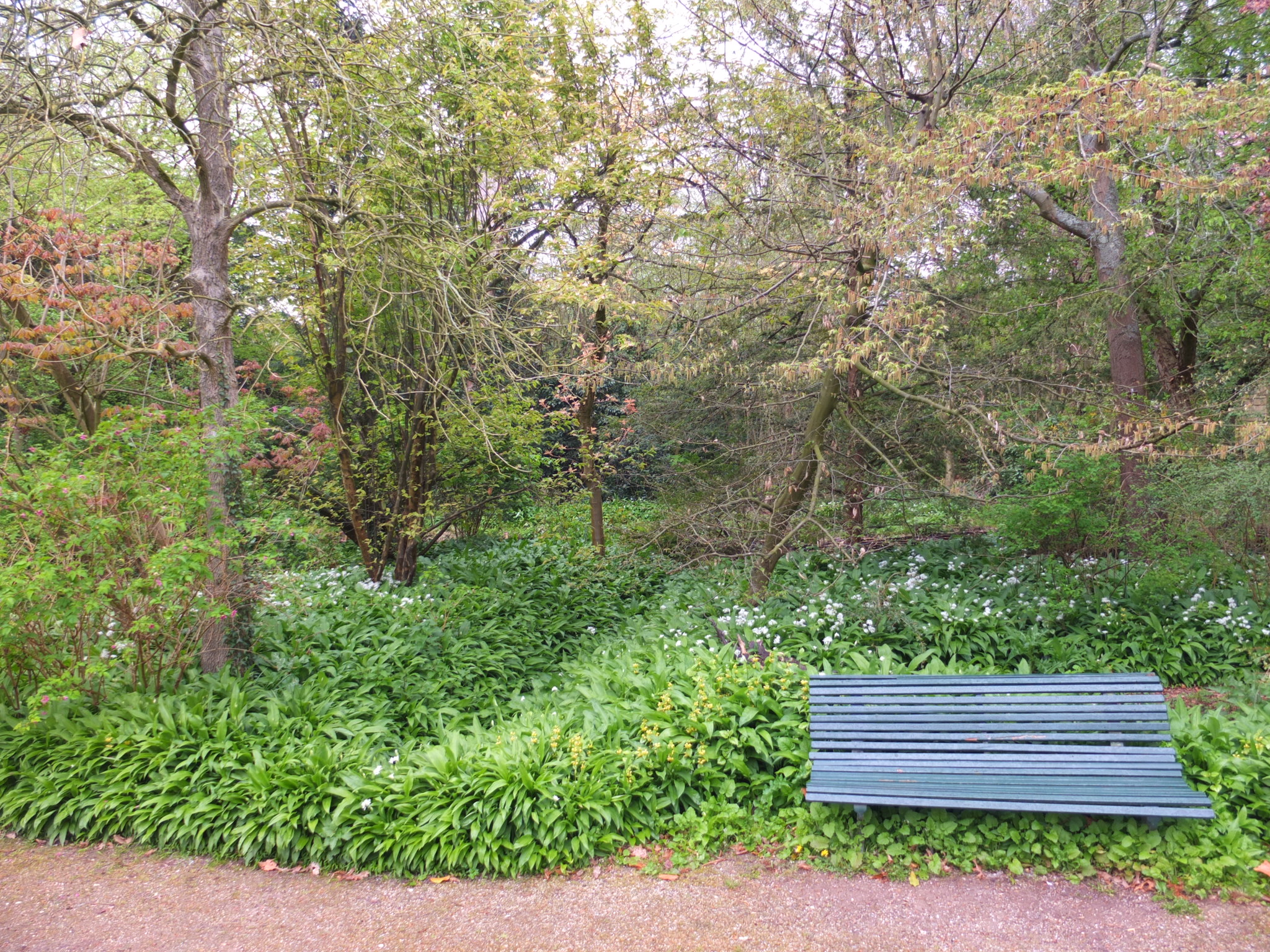 The layered structure of a food forest, with among many others, wild garlic, thimbleberry and chinese quince. ©Natvise, Food Forest De Overtuin, 2019.